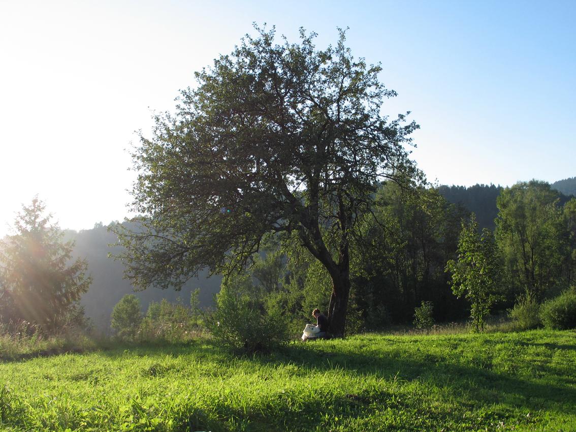 Stará jabloň u Hajasov, Terchová